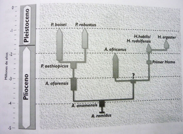 australopithecus ramidus - gráfico evolutivo